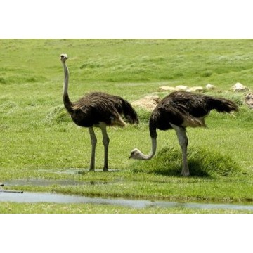 Deve Kuşu EMU Yağı Organik Bitkisel