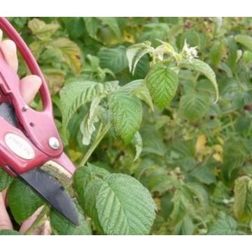 Ahududu Yaprağı Organik Doğal İlaçsız Çay